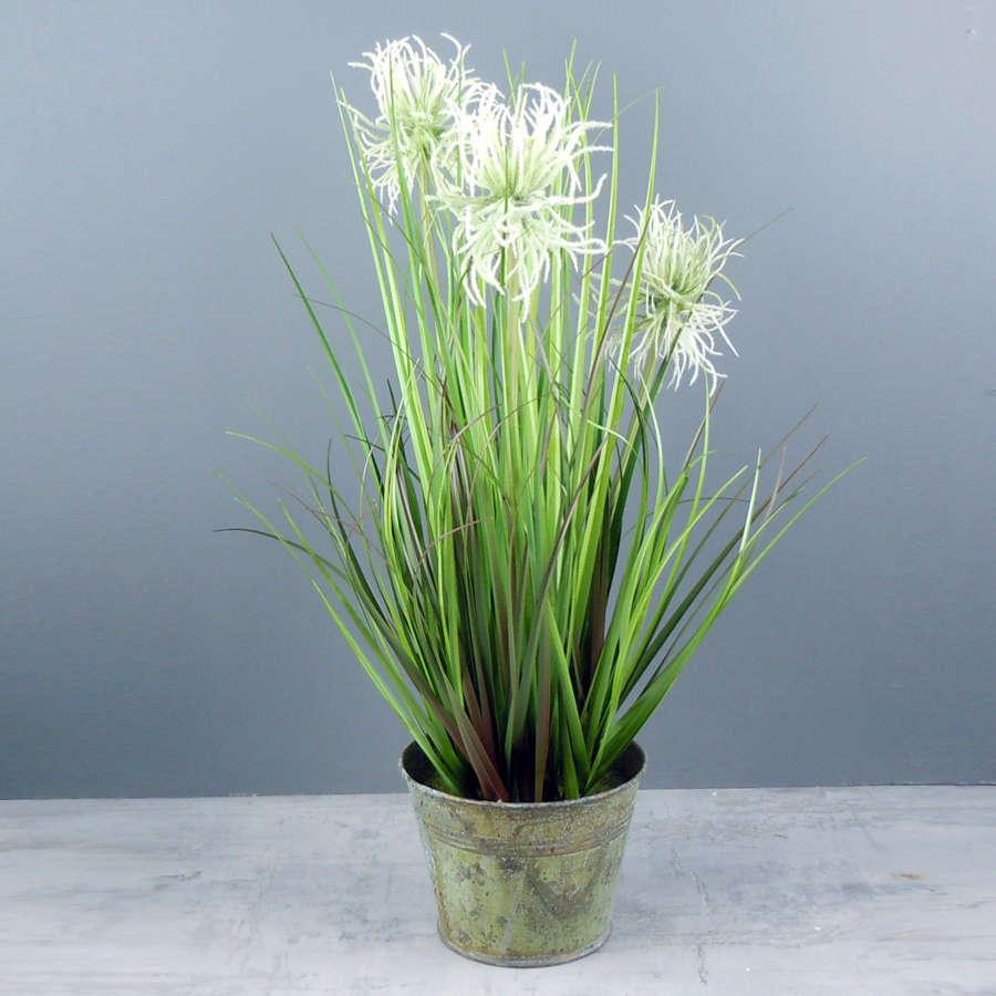 Sea Urchin Grass plant in metal tin pot