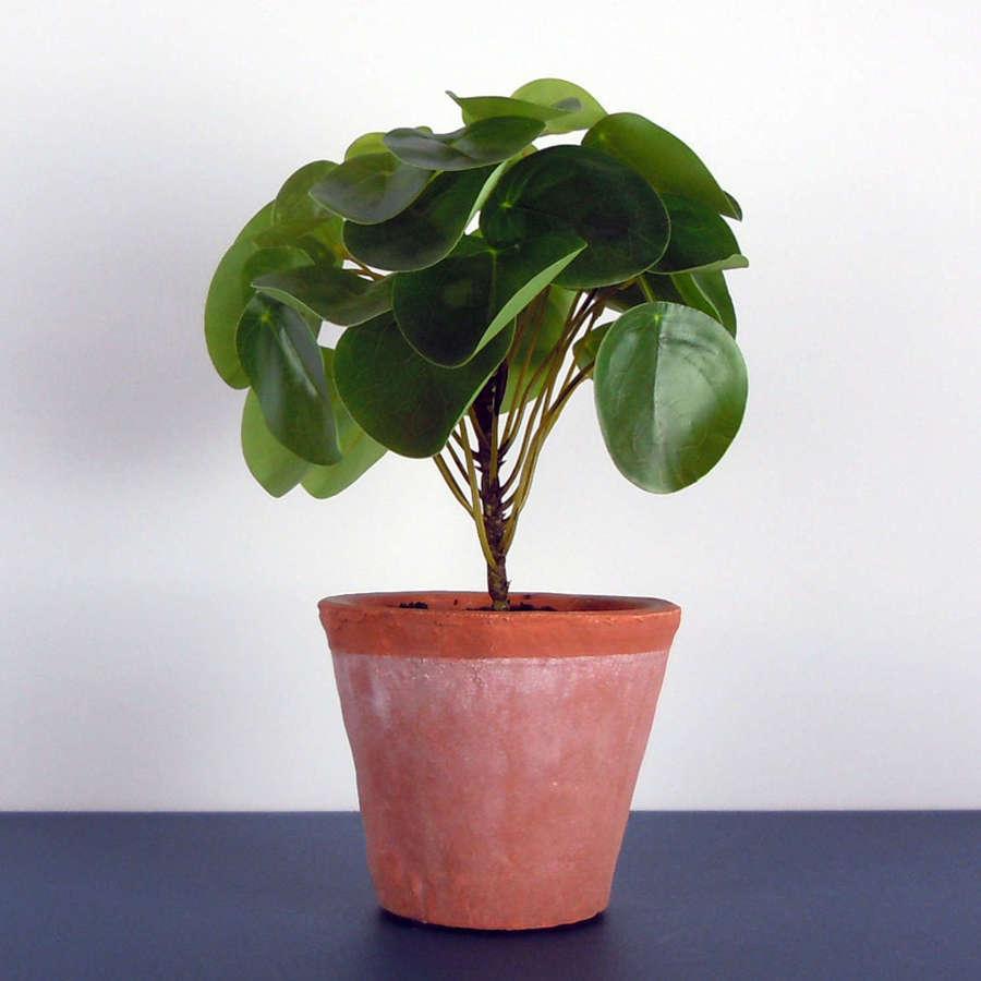 Ornamental Money plant in terracotta pot
