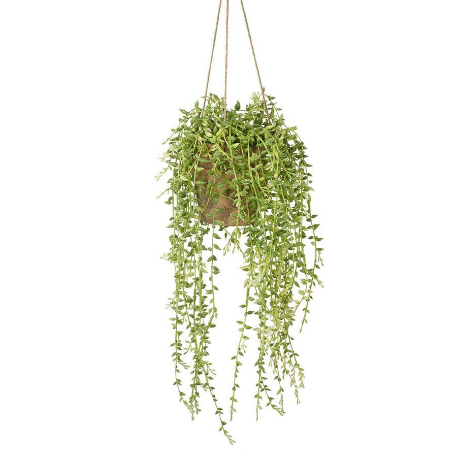 Potted hanging Senecio plant