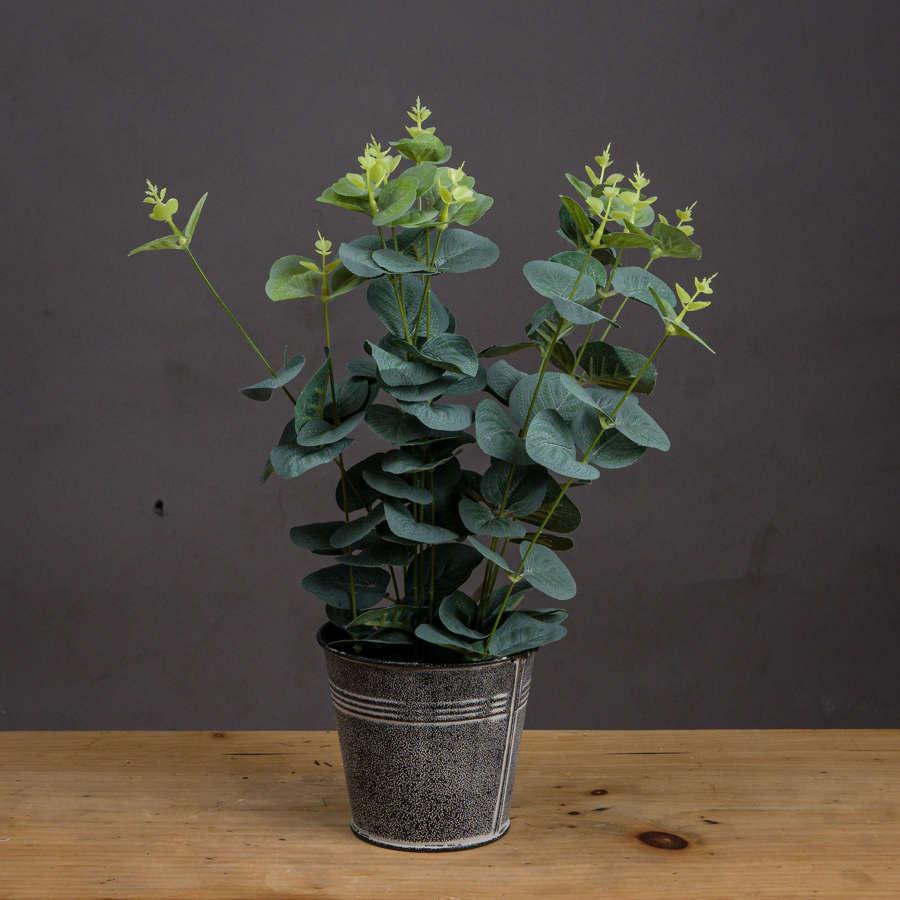 Eucalyptus plant in tin pot